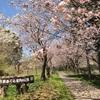 毎年恒例・強行日帰りドライブで、桜を堪能