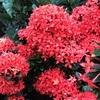 サンタンカの花