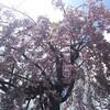 桜も終わり、また来年まで