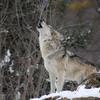 オオカミの遠吠えは、遠くにいる仲間に向けて吠える習性だが、人間の遠吠えは全く別の意味がある事