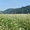 白山麓に咲く蕎麦の花・・