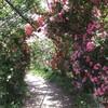 平成の森公園へ薔薇を見にいく(5月26日)。