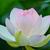 「蓮の花」にうっとり・・😊💕
