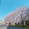 日記* 今年の桜