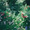 バラ 坂野ガーデン