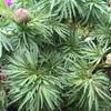糸葉芍薬とサクラ草