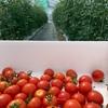 僕とトマトの成長日記 夏野菜中玉トマト フルティカ