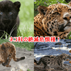 生きて欲しい!猫やネコ科の絶滅危惧種、世界と日本!