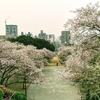 福岡市の桜の定番!『西公園』