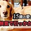 リオ血液検査で引っかかる 老犬ダックス15歳