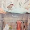 【フツウのコト24】文鳥と私-11-