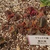 とあるミニ温室にいた多肉植物に、うきうき。