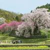 高さ13mの一本桜「又兵衛桜」