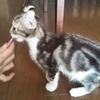 猫ブログ_初チュール&初ダンボール #アメリカンカール
