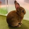 ウサギのちまき、初めての紫陽花で梅雨を知る