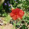 ノウゼンカズラが咲いていました