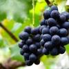 【おすすめ!】本当は知らない!?長野ワインの魅力を徹底解説