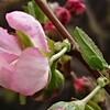 庭梅、開花