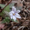 ☆春の庭にユキワリイチゲやリュウキュウバイが咲き出して、、