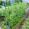 順調なスナップエンドウとジャガイモ!開花しました!