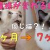【猫の模様が変わる?】成長したラグドールの2つの変化