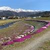 大町市、農具川の芝桜の様子 2019.4.28(5.5更新、満開になったよー!)