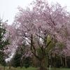 里山に咲く枝垂れ桜