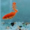 金魚「追いかけ回す原因」