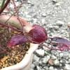 ブルーベリー 紅葉