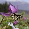 5/3/2019・白馬の蝶あそび 〜 カタクリの楽園を舞うヒメギフチョウに会えました