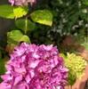 今年の紫陽花と今週のヨーガ