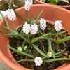 白い花の品種も見えてきた!