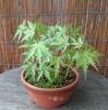 モミジ実生苗の鉢にも苔
