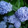 【穴場から名所まで】今が見頃!あじさいが美しすぎる鎌倉のおすすめ紫陽花寺