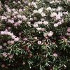 神戸森林植物園のシャクナゲ