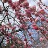 我が家の「しだれ桜」、ほぼ7分咲きかなぁ!