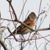 神戸森林植物園、12月。紅葉残る。アトリ、ルリビタキ、ジョウビタキ、シジュウカラ、エナガ、ヤマガラ。