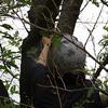 サクラケムシ(モンクロシャチホコ)の捕り方を習ったので捕まえて食べる