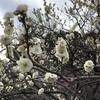 梅を10倍面白く愛でる〜梅の歴史をたどる〜