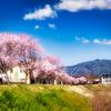 🌸仁義なき桜🌸花びらアップなしで行くぞー