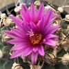 アロンソイ開花🌸