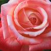 薔薇の花をみるならココ【私のイチオシ】