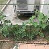 【家庭菜園 庭】きゅうりがうどんこ病にかかってしまった。簡単な対処法解説。その他トマトやなすの進捗状況つき。