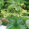 ヤブガラシの花は赤い? 昼前に見られる花の不思議と蜜を求めるスズメバチ