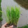雨が降る中の田植 Rice Planting