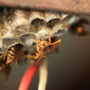 題名「あしなが蜂」