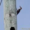 大きすぎる巣穴と Golden Fronted Woodpecker (ゴールデンフロンテッド ウッドペッカー)