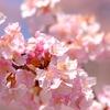 河津桜と冬富士と・丹沢で一足早い春の訪れを感じる @高松山・松田山