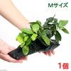 (水草)アヌビアスナナ&ゴールデン 付流木 Mサイズ(1本)