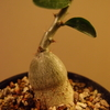 Pachypodium succulentum 実生株③
